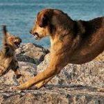 Кот прогоняет собаку