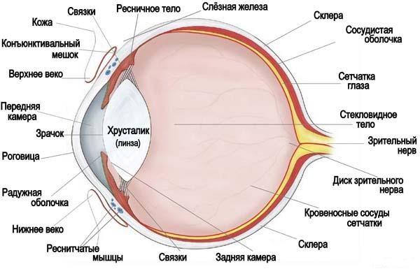 схема строения глаза кошки