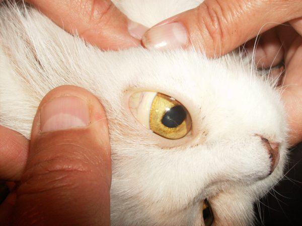 Желтый глаз кошки крупным планом