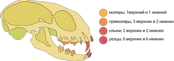Зубы кошки на схеме