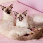 Двек кошки породы балинез