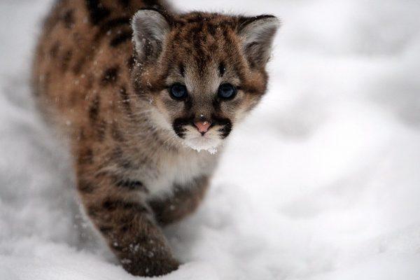 Котёнок пумы в снегу