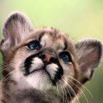 Мордочка котёнка пумы