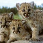 Три котёнка пумы