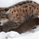 Котёнок пумы играет с маминым хвостом