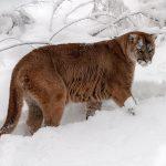 Кугуар в снежном лесу