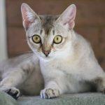 Удивительная сингапурская кошка