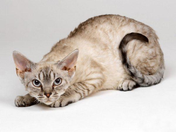 Кошка породы немецкий рекс