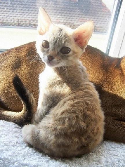 Котёнок рекса на окне
