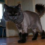 Чёрный кот в стрижке