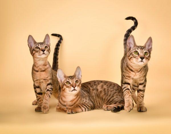 Котята серенгети