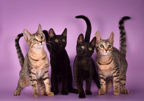 Разнообразие котят серенгети