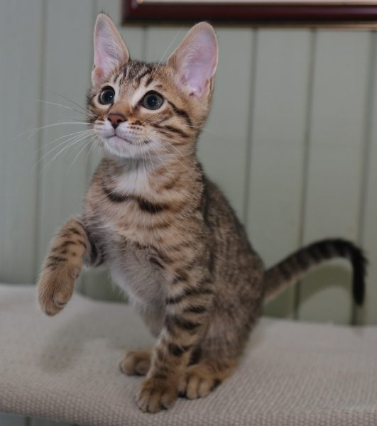 3-месячный котёнок серенгети