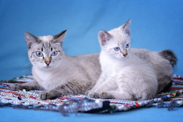 Тайские бобтейлы: мама и малыш