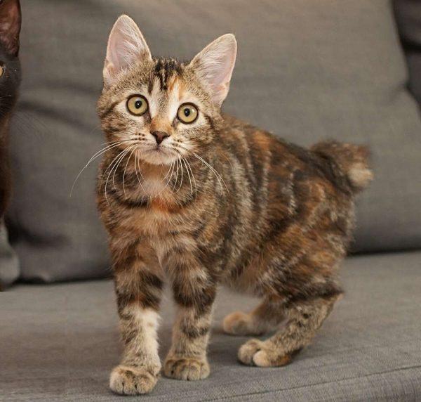 3-месячный котёнок бобтейла