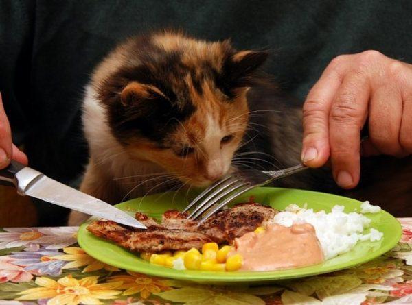 Кот нюхает мясо