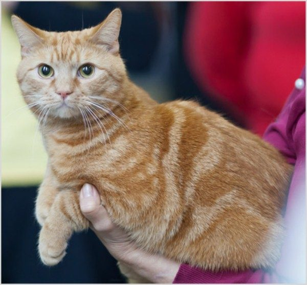 Европейская короткошёрстная кошка окраса «красный мрамор»