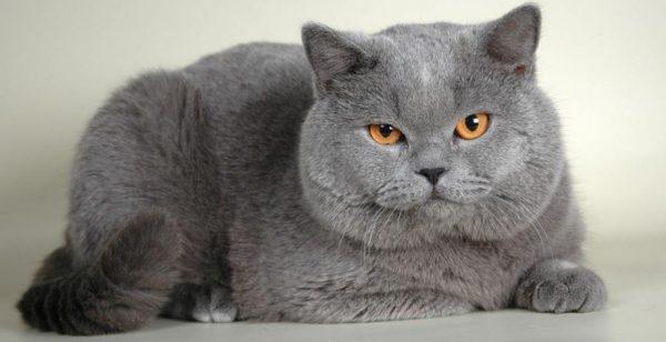 Британский кот на белом полу