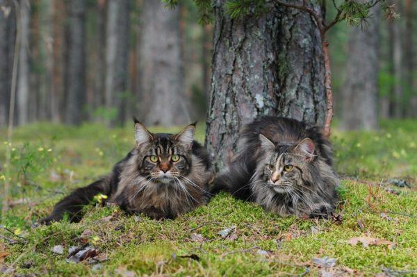 Два мейн-куна на прогулке в лесу