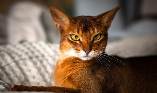 Морда абиссинской кошки