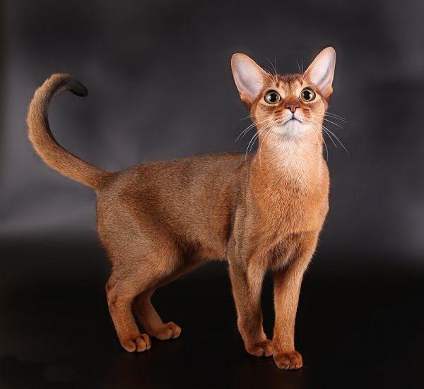 Кошка абиссинской породы на тёмно-сером фоне