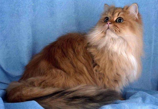 Персидская кошка классического типа на голубом фоне