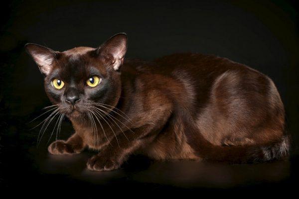 Бурманская кошка на чёрном фоне