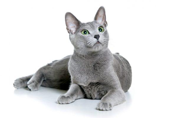 Русская голубая кошка на белом фоне