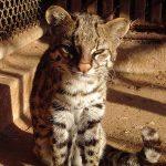 Онцилла в условиях зоопарка