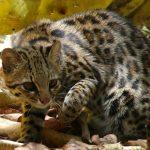 Внимательная тигровая кошка