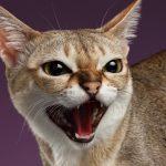 Мяукающий сингапурский кот