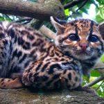 Отдыхающая тигровая кошка