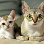 Сингапурская мама-кошка с котёнком