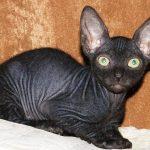 Чёрный котёнок донского сфинкса