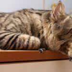 Спящий курильский бобтейл