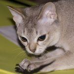 Неутомимая сингапурская кошка