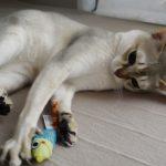 Игривый сингапурский котёнок