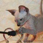 Игривый котёнок дончак