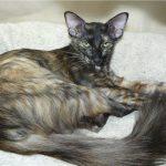 Трёхцветный кот яванез