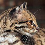 Красивая кошка онцилла