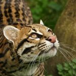 Тигровый кот на охоте