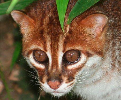 морда суматранской кошки с рыжими глазами крупным планом