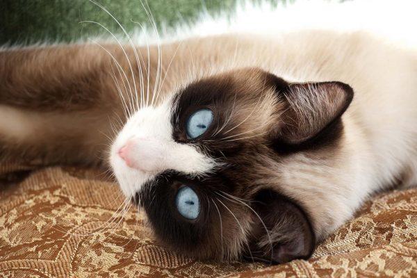 Голубоглазая сноу шу лежит на гобеленовом покрывале
