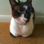 Маленькая кошка сноу шу с чёрным пятном на носу