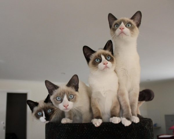 Четыре котёнка сноу шу окраса сил-пойнт