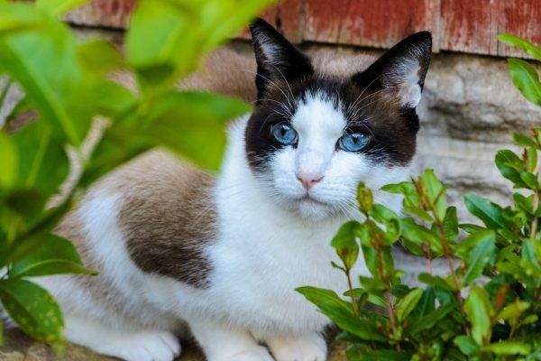 Синеглазая кошка сноу шу сидит в кустах