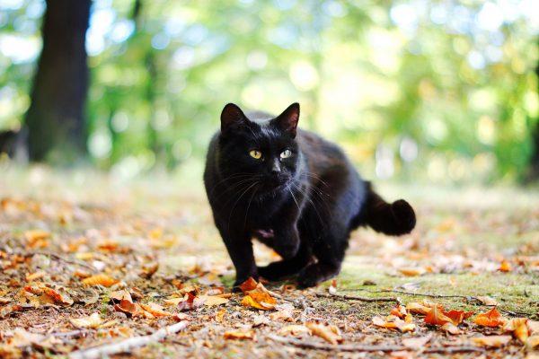 чёрная кошка идёт по осенней листве