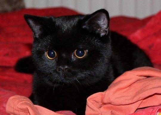 бомбейский котёнок на красном покрывале