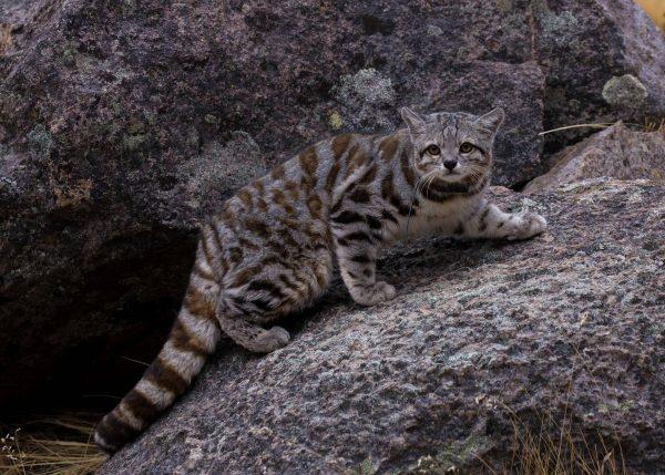 андская кошка на гранитном камне