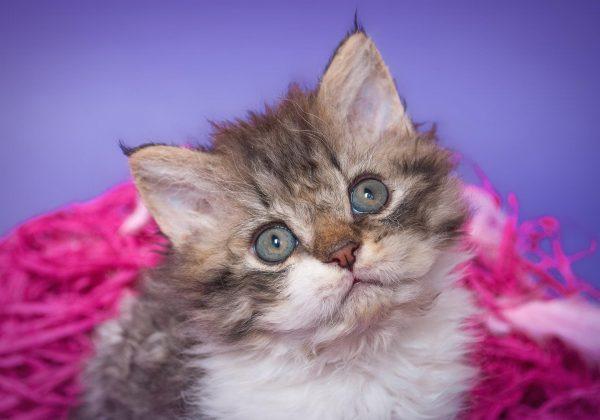 Волнистый котёнок окраса табби на сиренево-розовом фоне
